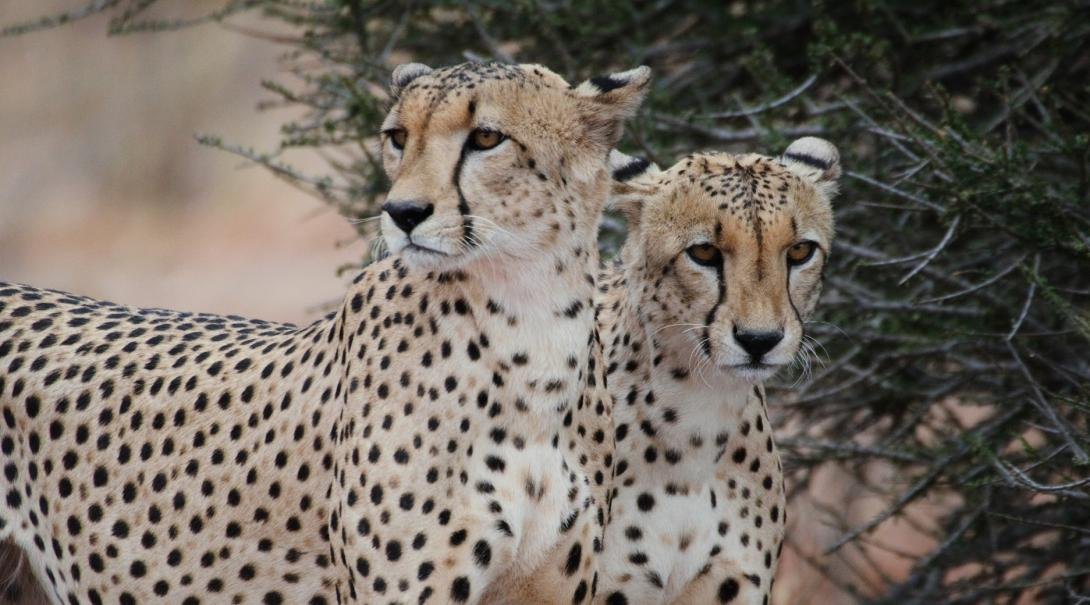 Two cheetahs spotted by volunteers during a game drive in Southern Africa
